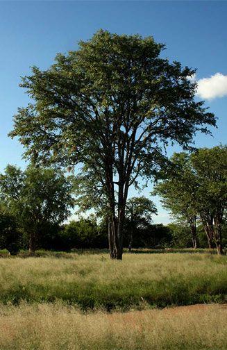 Colophospermum Mopane            Mopane/Turpentine Tree         Mopanie          S A no 198