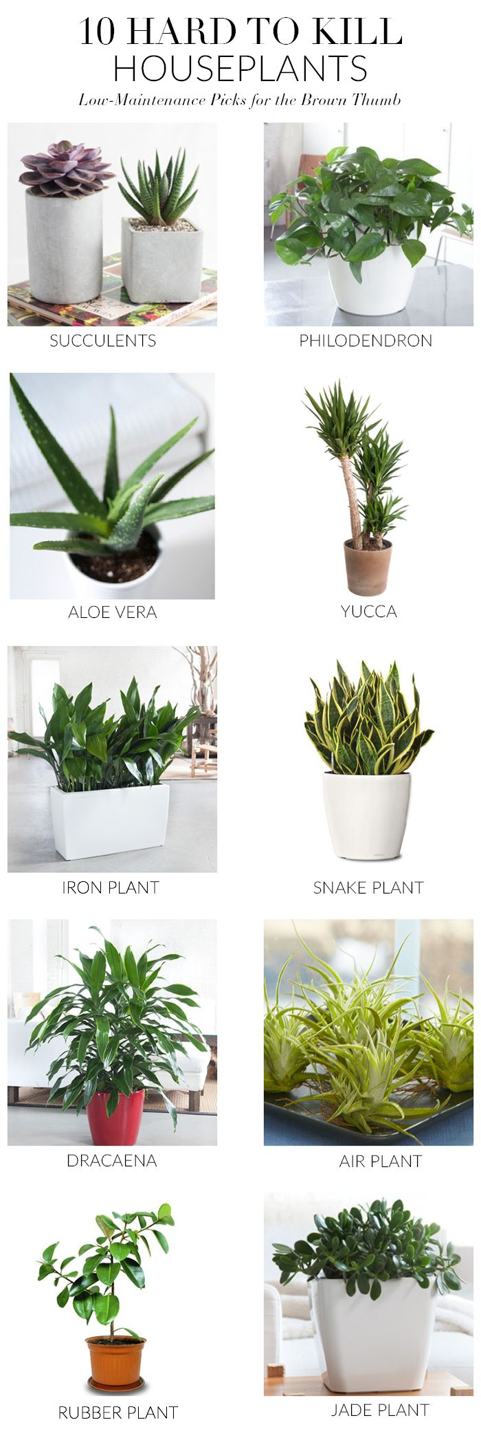 Jade plants need full sun in order to grow properly and need to be drained well. Allow the soil to dry out completely before each watering. Softening leaves indicate it's time for more water. cast iron plants can handle low light, extreme temperatures