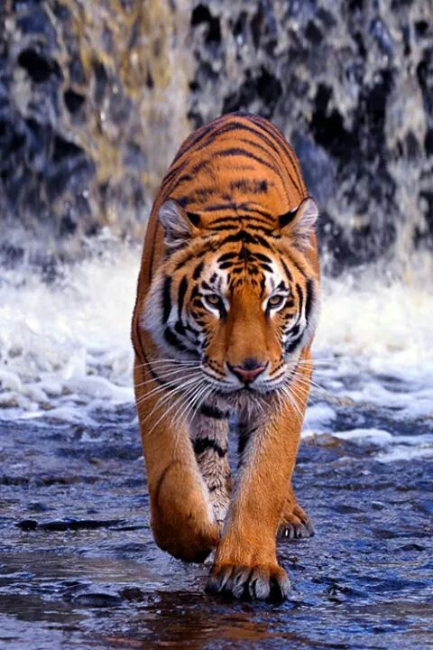 """""""It is not part of a true culture to tame tigers, any more than it is to make…"""
