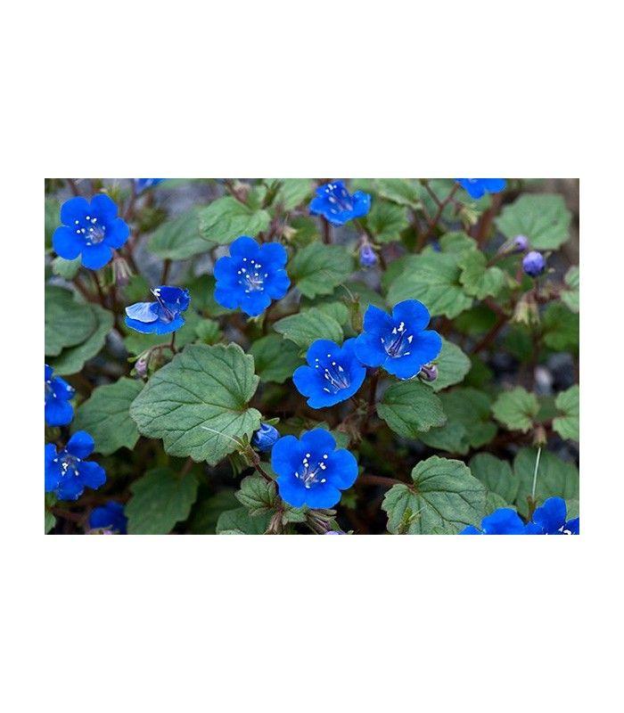 Svazenka modrá - rostlina pro včely