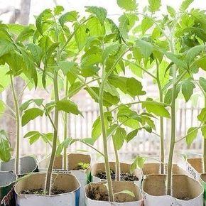 ЧТОБЫ #РАССАДА НЕ ВЫТЯГИВАЛАСЬ Не нужно спешить и сеять семена на рассаду слишком рано. У каждой культуры есть оптимальный возраст, когда её лучше высаживать в грунт. Для тыквы, патиссона, кабачка, дыни и арбуза — это 20-30 дней, для капусты белокочанной ранних сортов — 40-50, средних и поздних — 30-40, салата — 30-35, томат нужно высаживать в грунт в возрасте 50-55 дней, перец, баклажан, сельдерей — 60-65. Исходя из этого, и высчитывается срок посева, хотя растения с длинным периодом…