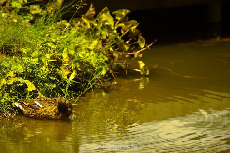 Wild duck in Lake Békás Debrecen, Hungary  #molnarfotozas #bopciblog #duck #cute #Békástó #Debrecen #Hungary
