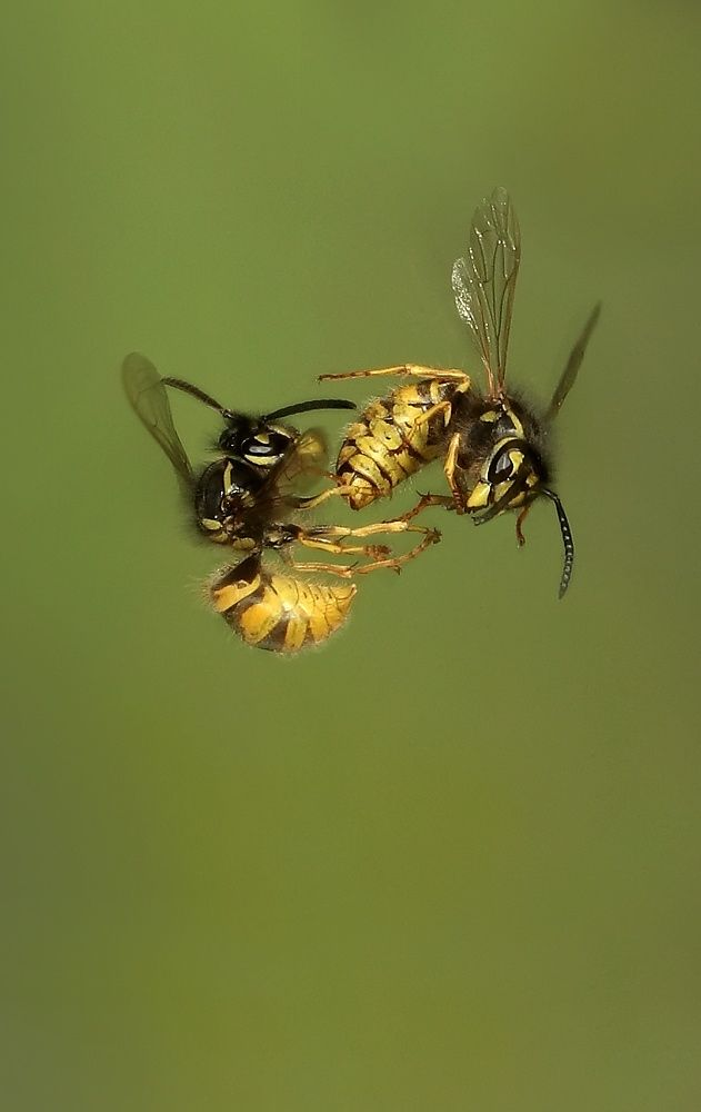 Photograph Wasps Fighting in Mid air by Dale Sutton on 500px
