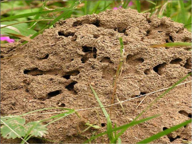 Садовые муравьи наносят серьезный вред растениям, питаясь их соком. Очень большой урон саду приносит также симбиоз муравьев и тлей. Муравьи защищают тлю от божьей коровки, а взамен получают сахар. Борьба с муравьями необходима, если они наносят ущерб вашему саду или огороду. Если же они вам не досаж
