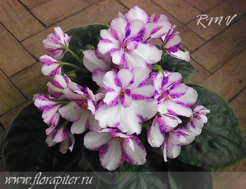 Pauline Bartholomew / (Bradford) Белые, простые и полумахровые анютки, по краю розовые полосы с голубым фэнтези. Обильнейшее цветение над компактной аккуратной розеткой.