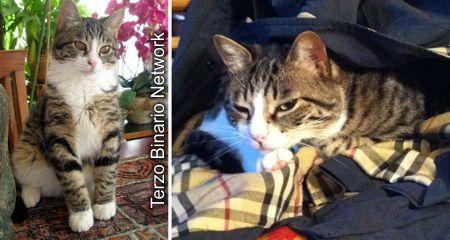 VARESE: SMARRITO GELSOMINO, GATTO TIGRATO GRIGIO E BIANCO. RICOMPENSA http://www.terzobinarionetwork.com/2016/04/varese-smarrito-gelsomino-gatto-tigrato.html