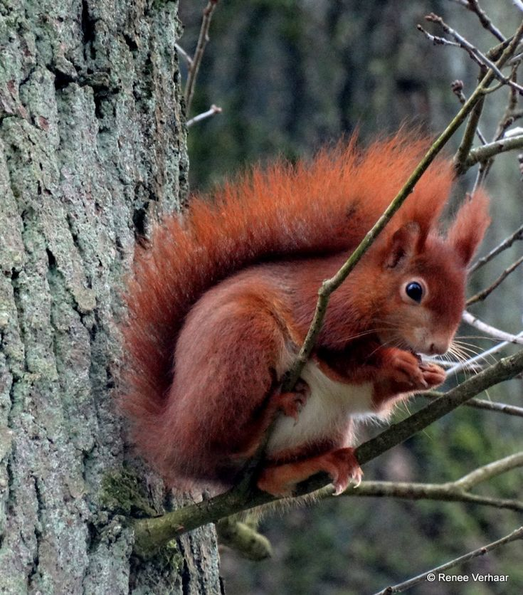 Geen winterslaap - Zoogdieren (bever, vos, muis) - Eekhoorn