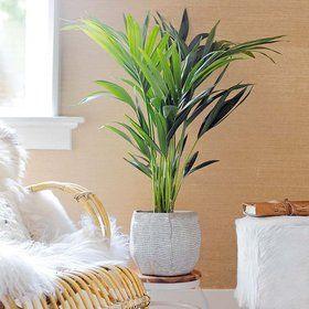 La kentia, palmeras de interior