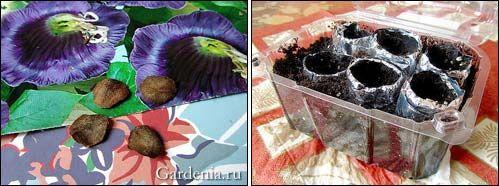 семена кобеи; посев кобеи в фольговые гильзы