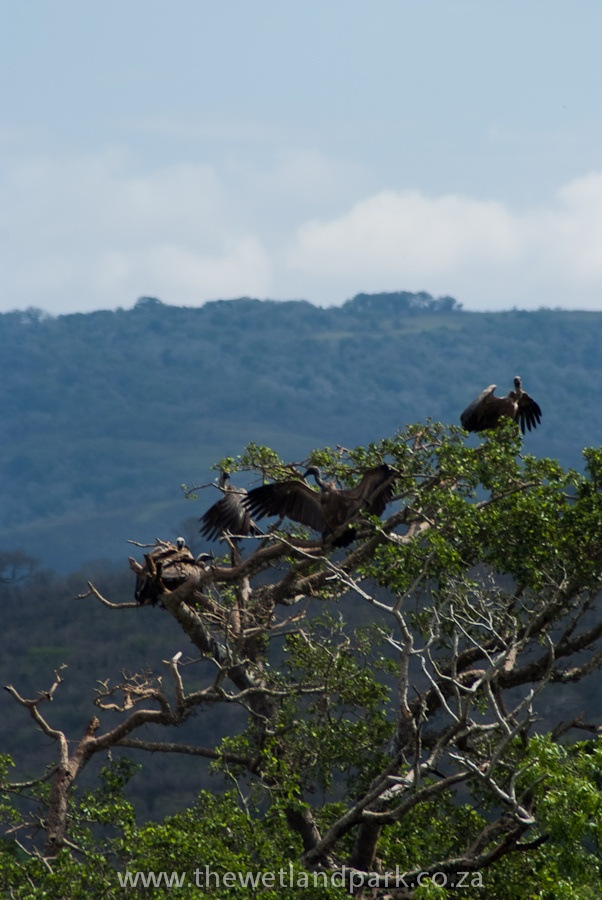African Vultures drying out their wings after the first of the rains at Hluhluwe-Imfolozi game reserve