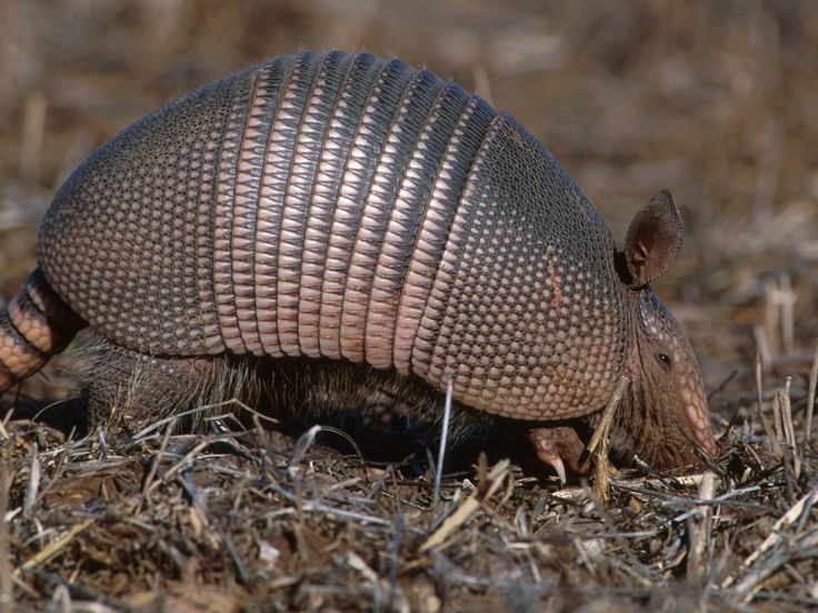 Three-banded Armadillo. Better known in the south as a possum on the half shell.