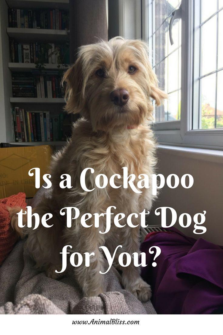 Bedste 25 Cocker Spaniel Poodle Mix-ideer på Pinterest-7199