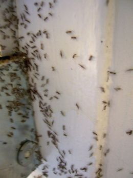 How To Quickly And Easily Get Rid Of Ants.  I will be using this durring the summer.  We have bad fire ants at my house.