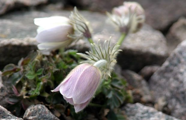 Foto Pulsatilla vernalis - Frühlings-Kuhschelle