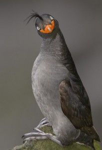 Crested-auklet.  From the Bering Sea.  Highly social seabird with a forward pointing ponytail, orange beak, cute smile and strong citrus odor.