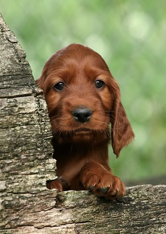 husher:  northwudzgirl:  Irish setter puppy  ✿ ❀ ❁ ❃ Do you love Springtime? ✿ ❀ ❁ ❃