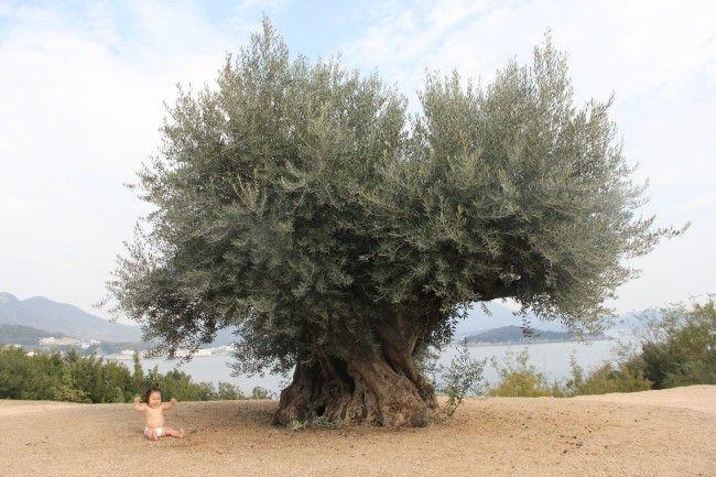 小豆島 樹齢1000年オリーブ