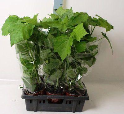 Zimmerpflanze  Zimmerlinde 40 cm  Sparmannia africana Blumenversand Pflanze