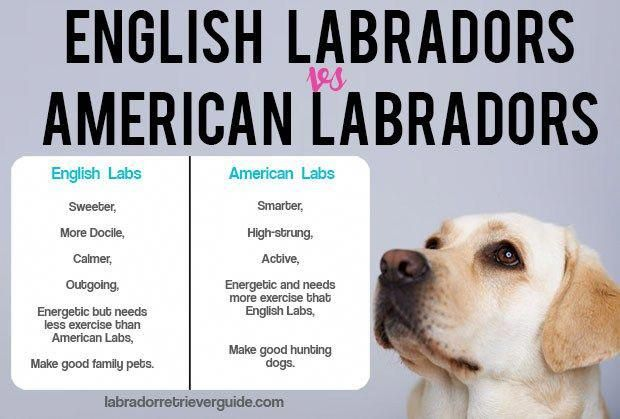 Labrador Retriever Facts English Labrador American Labrador