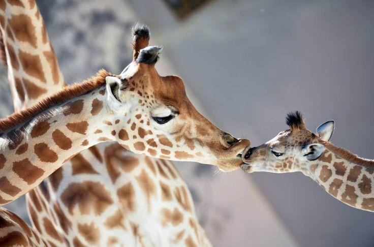 Bebê girafa 'Kenai' beija sua mãe 'Dioni' no zoológico de La Fleche, noroeste da…