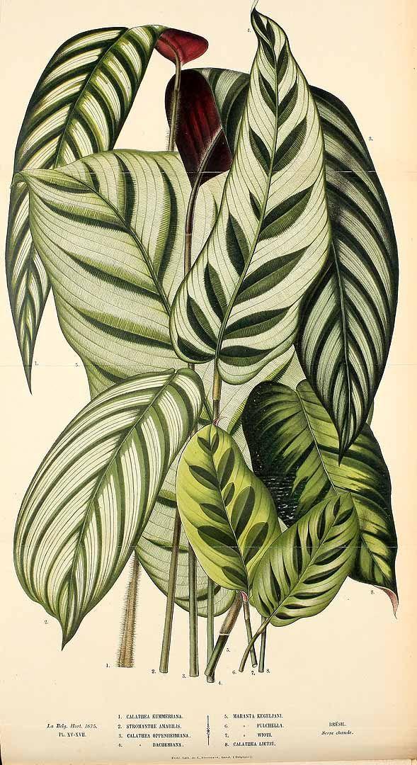 Calathea, La Belgique horticole, journal des jardins et des vergers, vol. 25: t. 15-17, fig. 4 (1875)