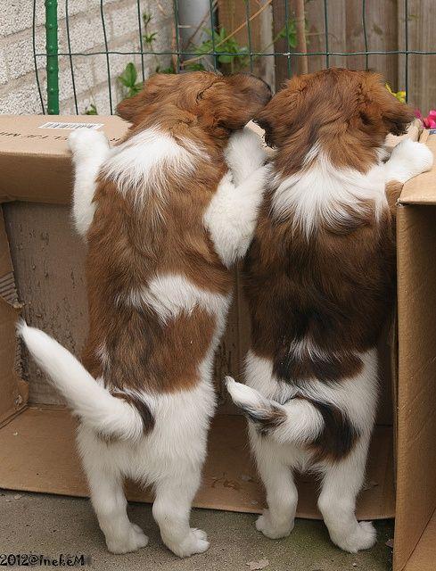 Puppy's Kooikerhondjes by Jakesh2010 on Flickr.Kooikerhondje puppies