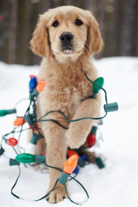 : Holiday, Animals, Dogs, Golden Retrievers, Christmas Puppy, Pet, Christmas Lights, Christmas Card, Merry Christmas