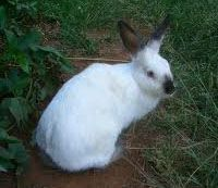 California Rabbit Weight: 8 - 10 1/2 pounds. Body Type: White with black ears, nose, feet, and tail. Full-bodied with medium-length upright ears.