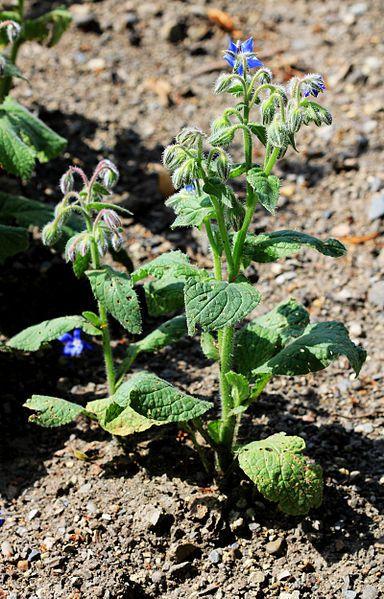 Jednoletá rostlina dorůstající do výšky 80 cm. Sbírá se kvetoucí nať, která se užívá jako nálev při revmatizmu a dně. http://www.semena-rostliny.cz/bylinky-semena/402-rostlina-semena-brunat-lekarsky.html