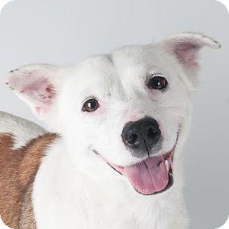 San Francisco, CA - Border Collie/Pembroke Welsh Corgi Mix. Meet Maybellene, a dog for adoption. http://www.adoptapet.com/pet/17807391-san-francisco-california-border-collie-mix