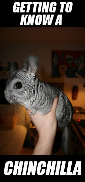Getting to Know a Chinchilla as a Pet