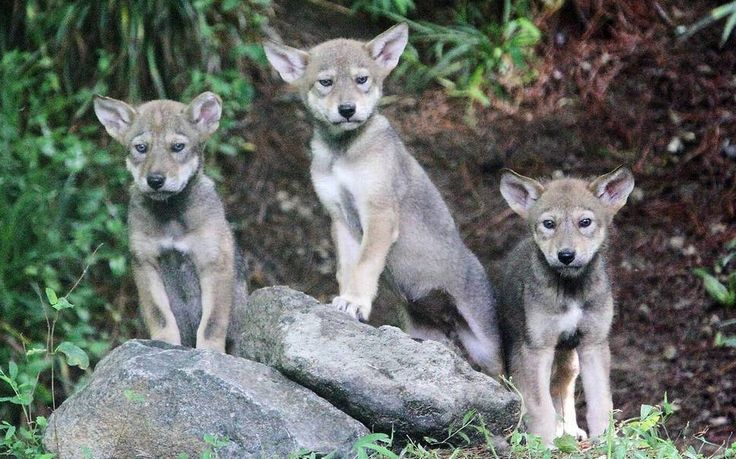 In exchange for the transfer, the Museum of Life and Science now has a new breeding pair of red wolves.