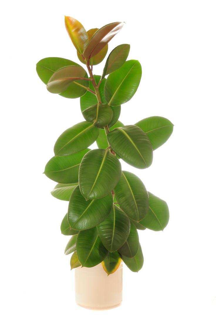 Kumiviikuna eli huonekumipuu kuuluu Moraceae heimoon, jonka tunnetuimmat lajit ovat viikuna ja apinanleipäpuu.