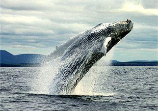 Love Boat Whale Cruises | Whale Cruises In Cheticamp, Cape Breton, Nova Scotia.