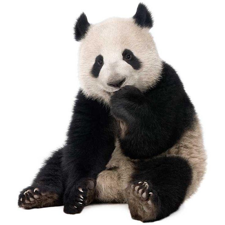 Oso Panda - Información y Características - Biología