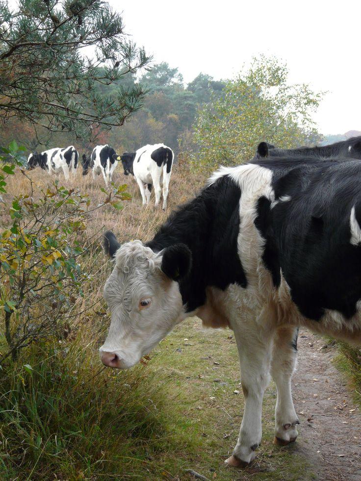 koeien in natuurlijke omgeving