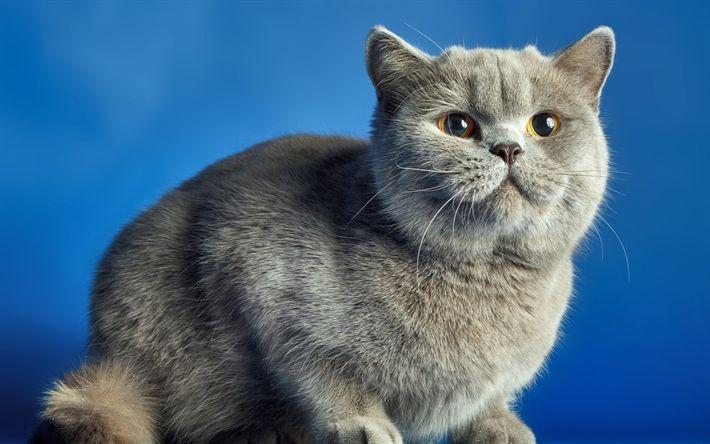 Download wallpapers British shorthair cat, domestic cat, gray cat, pets