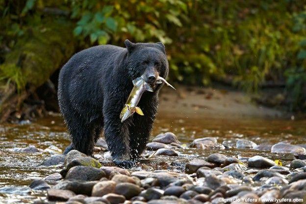 Beautiful Bear Animal Wild Hd Wallpapers Free Download Bear Pictures Bear Desktop Photos Brown Grizzly Bear Hd Wallpapers Wh Black Bear Bear Wallpaper Bear