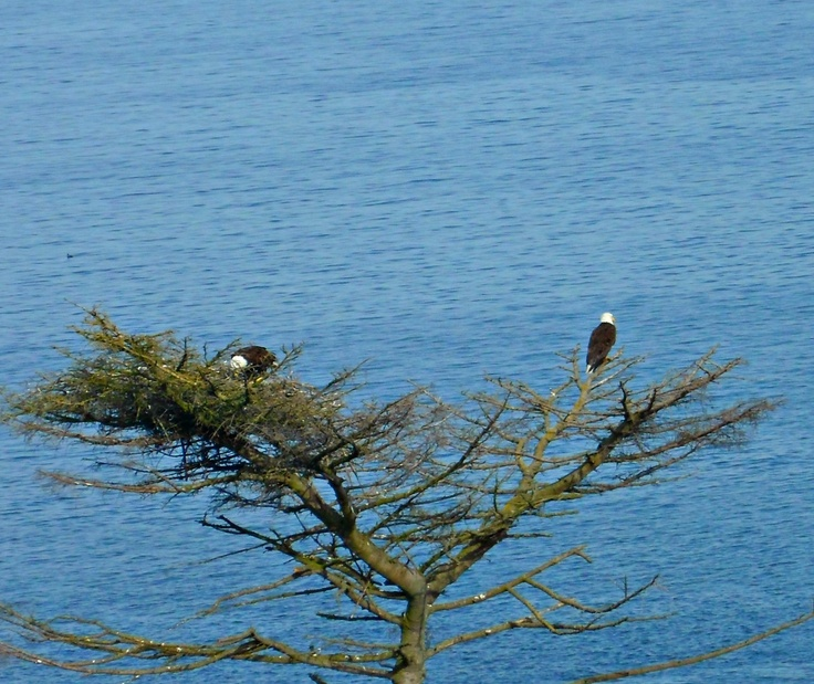 Bald Eagles at Lily Point