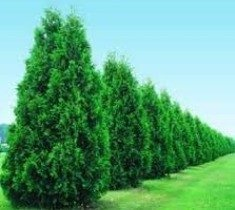Arborvitae Green Giant Thuja X Plicata The Is A Large Vigorous Fast Growing Evergreen It S Natural Pyramidal To