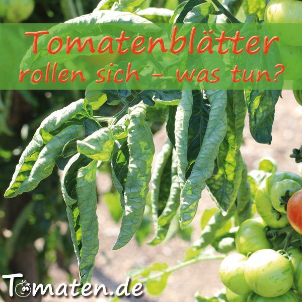 Tomatenblatter Rollen Sich Was Tun Tomaten Pflanzen Tomaten Tomaten Garten