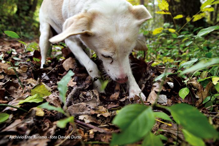 Truffle hunting dogs have a great ability to recognize the scent of truffles. Photo take near Alba, Italy