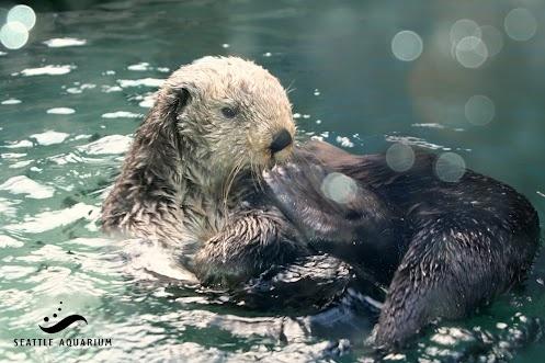 Sea Otter Awareness Weekends (September 22-23 and September 29-30) at the Seattle Aquarium. Seattle Aquarium - Google+: Seattle Aquarium, Favorite Things, September 29 30, Otter Awareness, Weekends September, Washington Sights, Awareness Weekends
