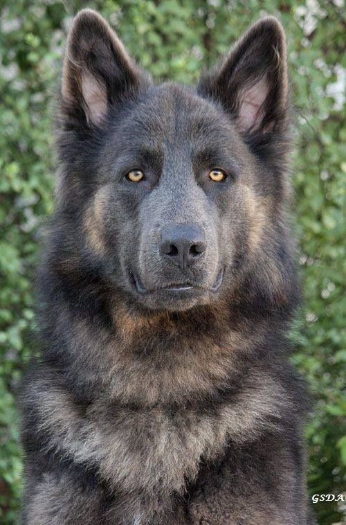 Sable GSD, look at those eyes. Beautiful.