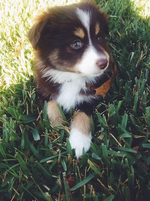 Omg the cutest puppy (with the exception of my Mischa of course hehe) Love herding/sheepdog breeds :)