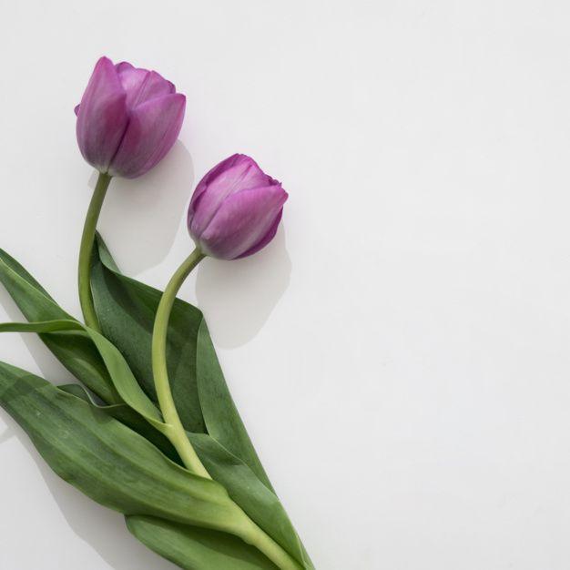 Duas rosas roxas bonitas Foto gratuita