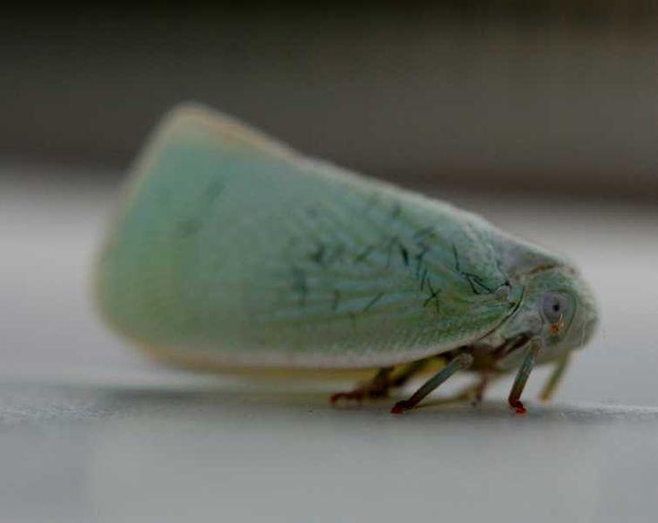 Leafhoppers1514.jpg (755×600)  planthopper (Hemiptera)