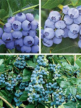three blueberry varieties that do well in the northern US