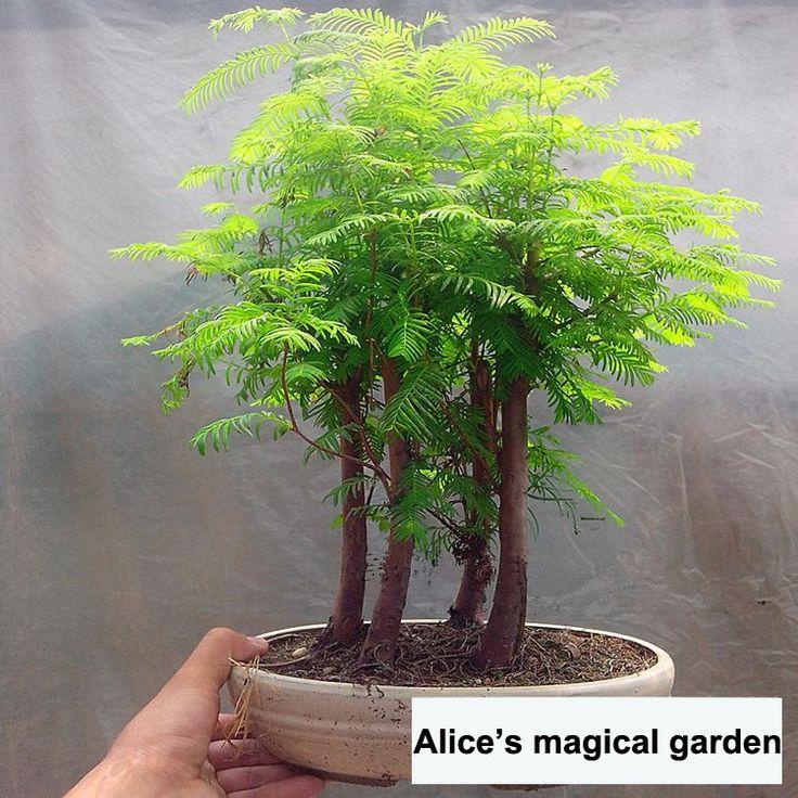 100 pcs / pack Dawn Redwood Bonsai Tree Grove - Metasequoia glyptostroboides Bonsai seeds DIY home gardening