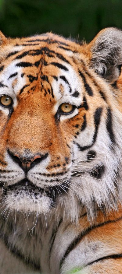 Nurejev the Siberian Tiger help save the tigers!!!!!!!!!!!!!!!!!!